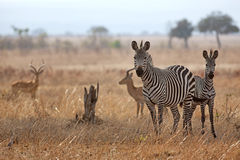 African Zebra Royalty Free Stock Photo