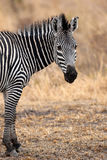 African Zebra Royalty Free Stock Photography