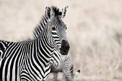 African Zebra. Standind in the dry savannah, Mikumi, Tanzania Royalty Free Stock Photos