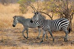 African Zebra. Standind in the dry savannah, Mikumi, Tanzania Royalty Free Stock Photo