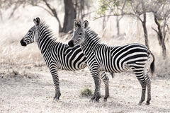 African Zebra. Standind in the dry savannah, Mikumi, Tanzania Stock Photography