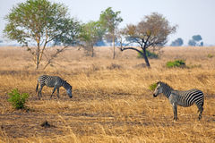 African Zebra. Standind in the dry savannah, Mikumi, Tanzania Royalty Free Stock Images