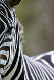 African Zebra. An interesting African Zebra Portrait Stock Photo