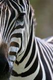 African Zebra. An interesting African Zebra Portrait Royalty Free Stock Photo