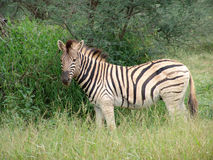 African Zebra. An African Zebra in the scrub and vegetation Royalty Free Stock Photo