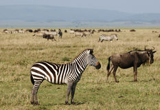 African zebra. Zebras - African animals with white and black stripes Royalty Free Stock Photos