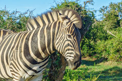 African zebra Stock Images