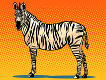 African Zebra animal Royalty Free Stock Images