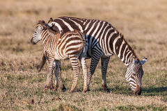 African Zebra Baby and Mother on the dry brown savannah grasslands browsing Royalty Free Stock Images