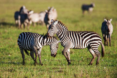 African Zebra Baby and Mother on the dry brown savannah grasslands browsing, Stock Photo