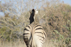 African Zebra Back Stock Image
