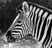 African Zebra in black and white. African Zebra side look in black and white with beautiful stripes Stock Photography