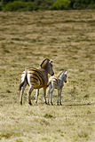 African zebra and calf Royalty Free Stock Photos