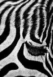 African Zebra. A dramatic close-up portrait of a wild African zebra face Stock Photos