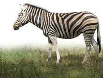 African zebra on green grass isolated Stock Photo