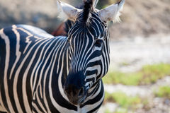 African Zebra portrait horizontal view Royalty Free Stock Photos