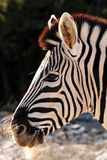 African Zebra side Portrait. African Zebra side look with great black and white stripes Royalty Free Stock Image
