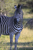 African Zebra Standing at Sunset Stock Image