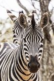 African zebra Royalty Free Stock Images