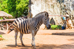 African zebra in the zoo Stock Photography