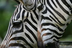 African Zebras Royalty Free Stock Photography