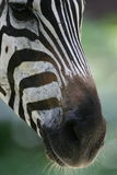 African Zebras Stock Photo