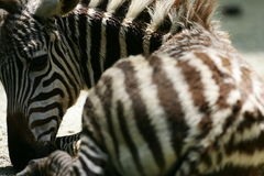 African Zebras Stock Images