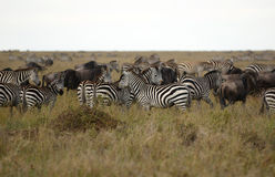 African zebras Royalty Free Stock Photo