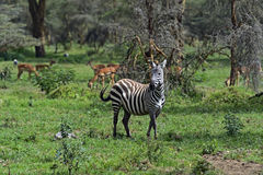 African Zebras Royalty Free Stock Photos