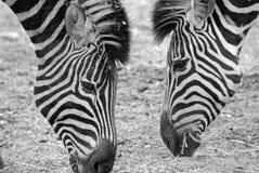 African Zebras Feeding Stock Image