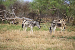 African zebras feeding Stock Images