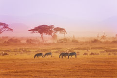 African zebras on grassland, Kenyan National park Royalty Free Stock Images