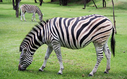 African zebras grazing. African zebras ( Equus quagga ) grazing Stock Image