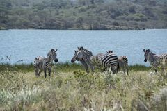 African zebras herd grazing at blue lake in Arusha, Tanzania, Africa. African zebras herd grazing in grasslands near Arusha National Park, Tanzania, Africa royalty free stock photo