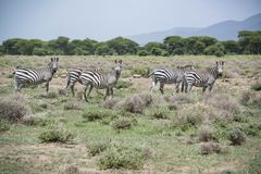 African zebras herd grazing in grasslands near lake outside Arusha, Tanzania, Africa. African zebras herd grazing in grasslands near Arusha National Park royalty free stock image