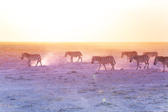 African zebras walking on dusty plains, Kenya Stock Photo