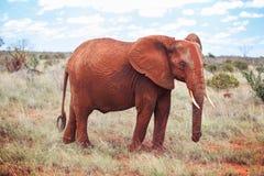 Africana africano del Loxodonta del elefante del arbusto cubierto con polvo rojo imágenes de archivo libres de regalías