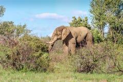 Africana africano do Loxodonta do elefante do arbusto Fotos de Stock