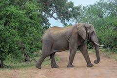 Africana africano do Loxodonta do elefante do arbusto Imagem de Stock