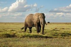 Africana africano do Loxodonta do elefante do arbusto, parte do fundo de seu b imagem de stock