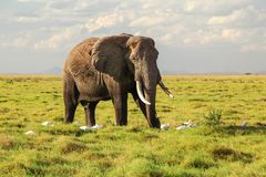 Africana africano que camina en hierba, pocos del Loxodonta del elefante del arbusto foto de archivo libre de regalías