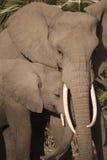 Africana de Loxodonta d'éléphant Photographie stock libre de droits