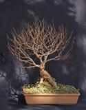 Africana del Celtis dei bonsai Fotografia Stock Libera da Diritti