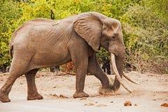 Africana del Loxodonta del elefante africano Imagen de archivo libre de regalías