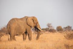 Africana del Loxodonta del elefante africano Imagenes de archivo