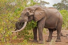 Africana del Loxodonta del elefante africano Imagen de archivo