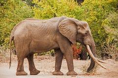 Africana del Loxodonta del elefante africano Fotografía de archivo libre de regalías