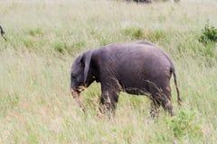 Africana del Loxodonta del elefante africano del bebé en hierba alta Imagen de archivo libre de regalías