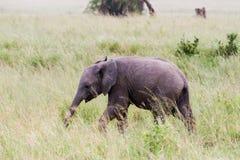 Africana del Loxodonta del elefante africano del bebé en hierba alta Fotos de archivo