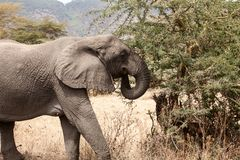 Africana del Loxodonta del elefante africano que come en arbustos foto de archivo libre de regalías